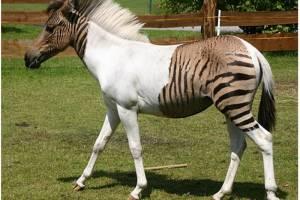 ΑΝΕΚΔΟΤΟ: Η ζέβρα και το άλογο