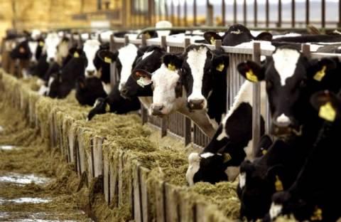 Φθιώτιδα: Από την Ολλανδία ήρθαν οι «τρελές αγελάδες» - Νέα κρούσματα