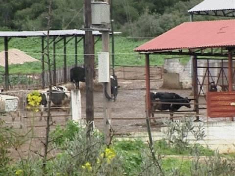Σοκαρισμένοι οι κάτοικοι της Μαλεσίνας από τις «τρελές αγελάδες»