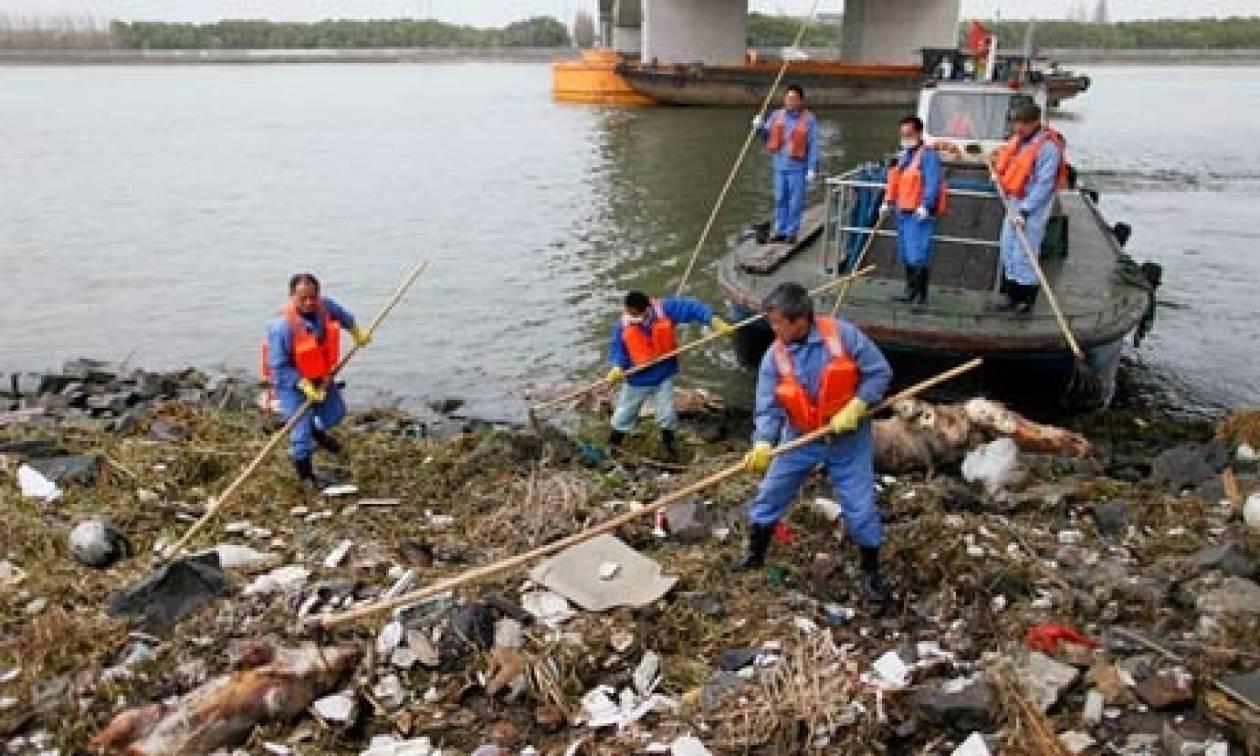 Πτώματα χοίρων σε αποσύνθεση σε κινεζικό ποταμό