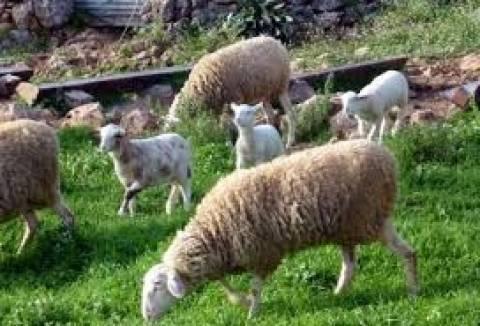 Φθιώτιδα: Έκλεβαν από κοτόπουλα μέχρι... γουρούνια