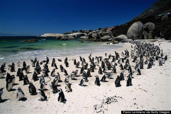 Η παραλία που λατρεύουν οι πιγκουίνοι (pics)