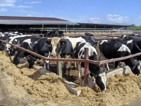 Αντιδρούν οι Ηπειρώτες αγελαδοτρόφοι