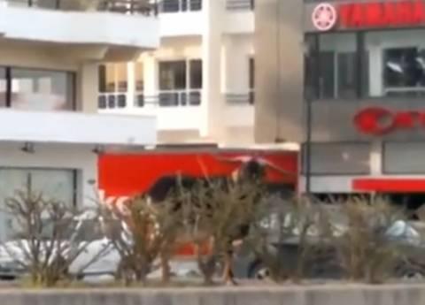 Βίντεο: Αδέσποτοι τράγοι βγήκαν να βοσκήσουν στην Εθνική Οδό