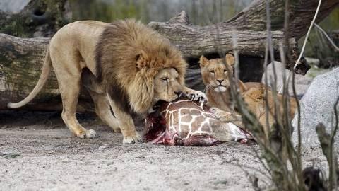 Κοπεγχάγη: Μετά τον Μάριους σκότωσαν και 4 λιοντάρια!