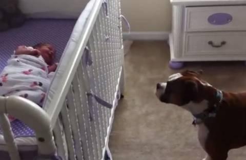 Συγκινητικό! Boxer αντιδρά στο κλάμα μωρού (video)