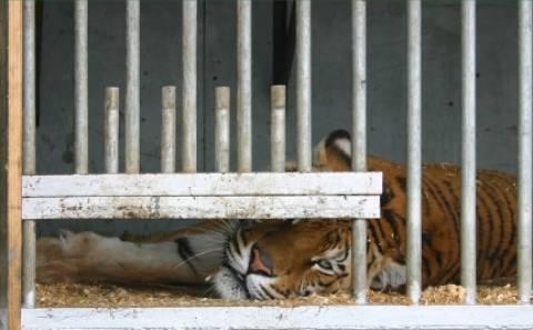 Κίνα: Σκότωναν τίγρεις για ευχαρίστηση πλουσίων (video)