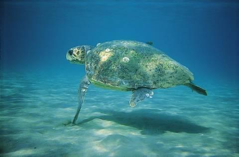 Παραπομπή της Ελλάδας για ελλιπή προστασία σε θαλάσσιες χελώνες