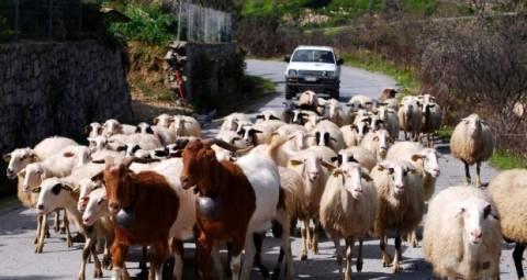 Πιερία: Ανησυχητικό κρούσμα ευλογιάς σε αιγοπρόβατα στο Λιτόχωρο