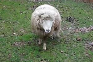 Δείτε το πρόβατο που νομίζει ότι είναι σκύλος (vid)