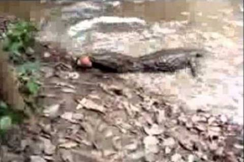 Αλιγάτορας τρώει (;) ηλεκτροφόρο χέλι! (video)