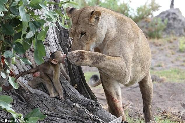 Λέαινα υιοθετεί μπαμπουίνο πριν το σώσει ο πατέρας του! (video+photos)