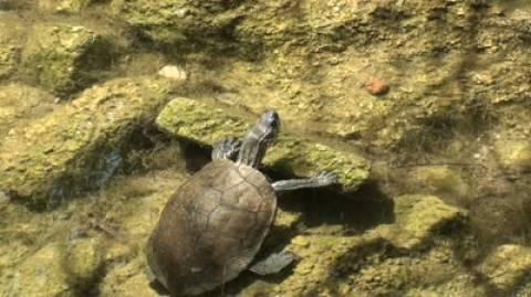 Μια μικρή χελώνα του γλυκού νερού διασχίζει το Αιγαίο