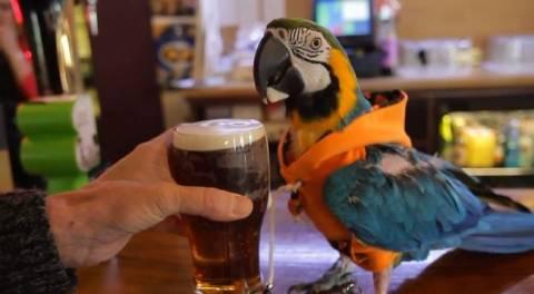 Φοράει κουκούλα, πίνει μπύρα και χτυπιέται! Είναι… παπαγάλος! (video)