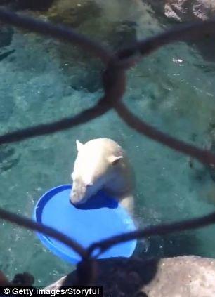 Παίξε και εσύ φρίσμπι με μία πολική αρκούδα! (video)