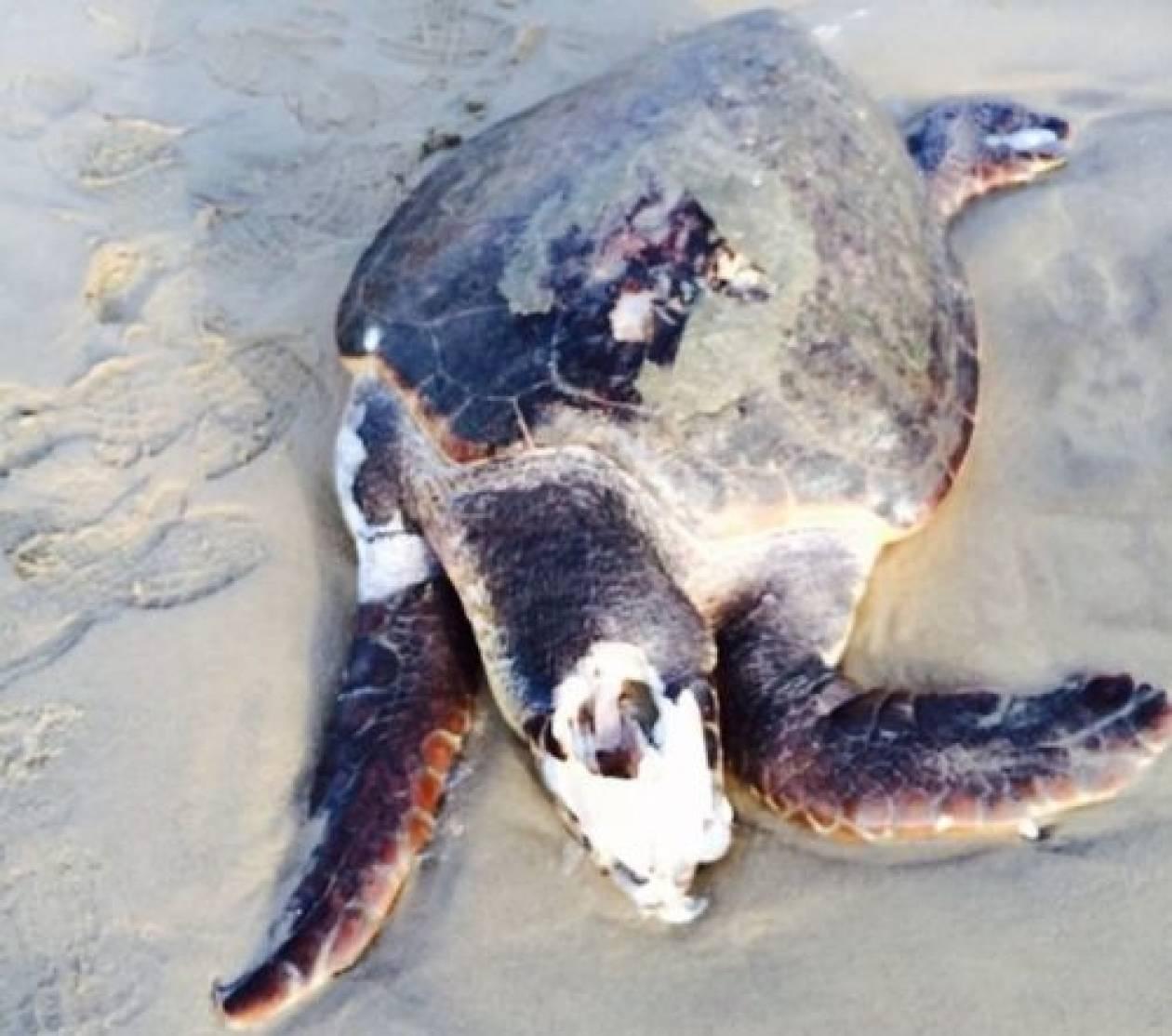 Νάξος: Χελώνα ξεβράστηκε νεκρή σε παραλία