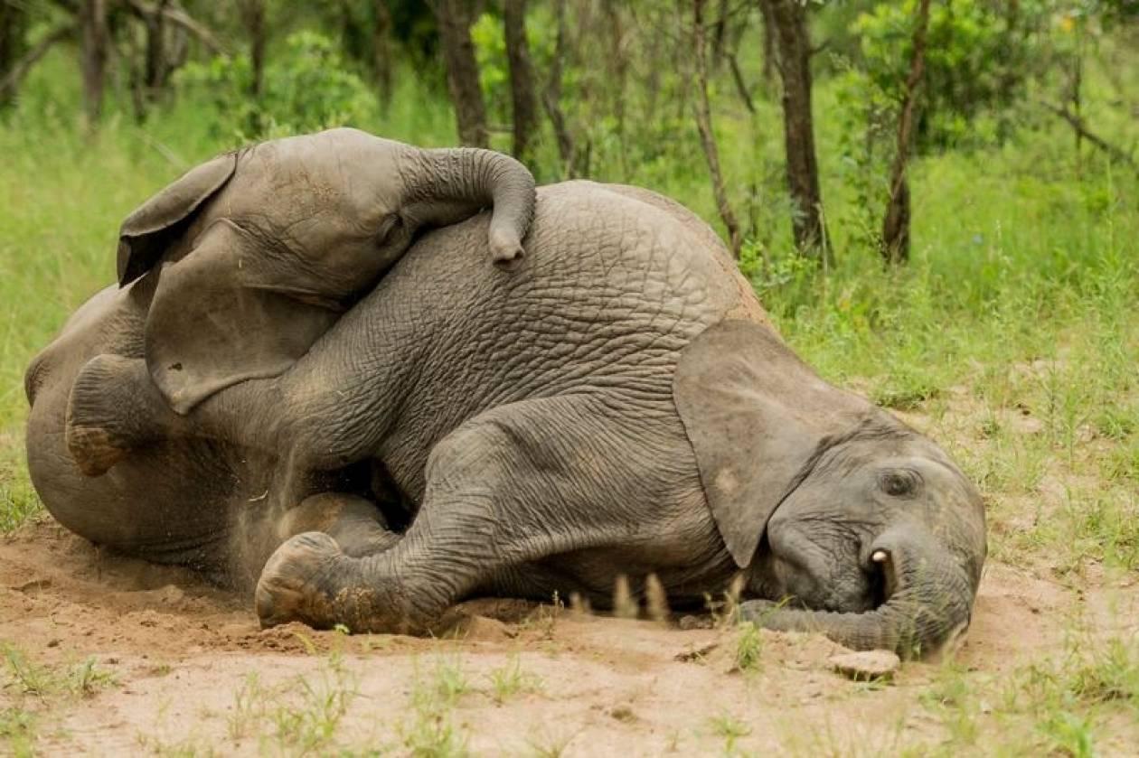 могут съесть спящий слон картинки блузка