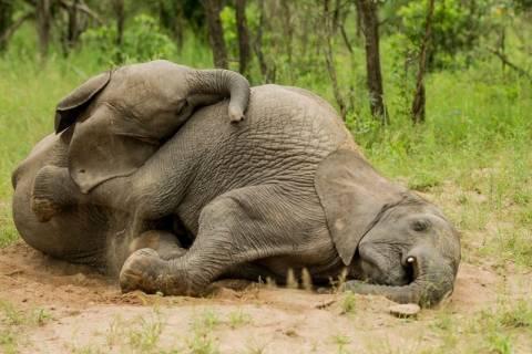 Ελέφαντες… λιώμα μετά από μεθύσι! (photos)