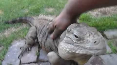 Ιγκουάνα με συμπεριφορά… σκύλου! (video)