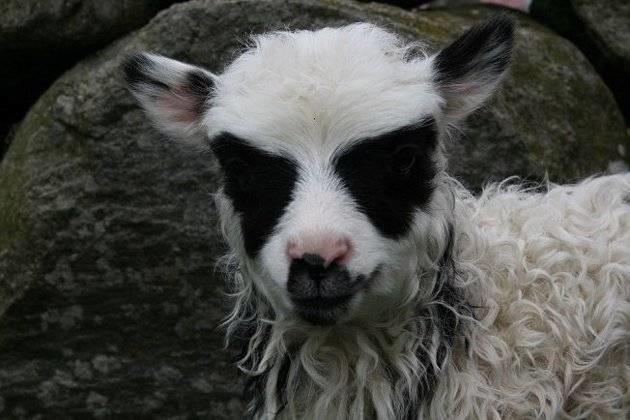 Προβατάκι… σούπερ ήρωας! (photos)