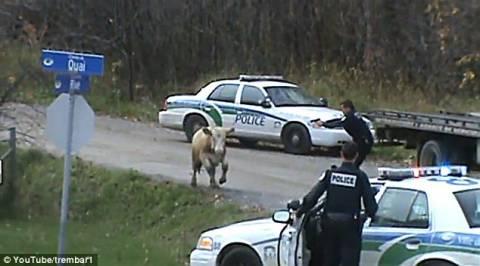 Αστυνομικοί σκότωσαν με 70 σφαίρες μια... αγελάδα!