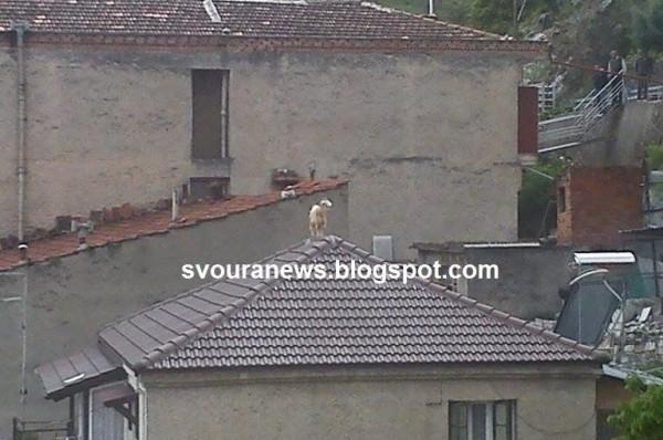 Καστοριά: Δεν θα πιστεύετε που σκαρφάλωσε η κατσίκα – Τα είδε… όλα