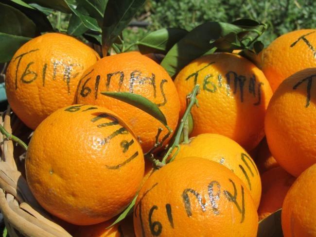 Κι όμως: «Πορτοκάλι Τσίπρας» στη Σικελία! (pics)