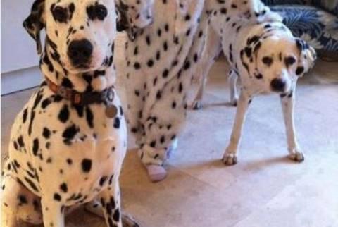Δείτε το πρώτο μωρό - σκύλος Δαλματίας! (pic)