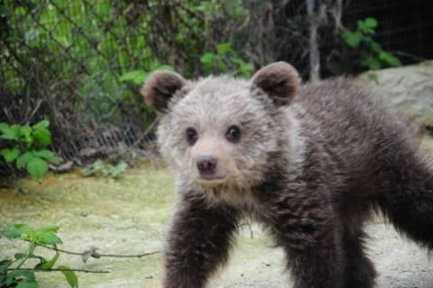 Φλώρινα: Επέστρεψε η… Ζωή – Αυτό είναι το αρκουδάκι που σώθηκε από τον θάνατο (pics)