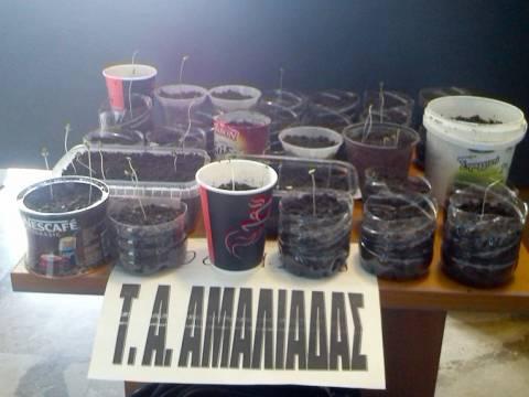 Αμαλιάδα: Ανήλικος... χασισοκαλλιεργητής με 37 δενδρύλλια δωματίου