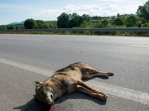 Νεκρός λύκος σε τροχαίο στο Αμύνταιο (pics)