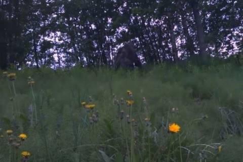 Νορβηγία: Κυνηγός εντόπισε τον Μεγαλοπόδαρο; (video)
