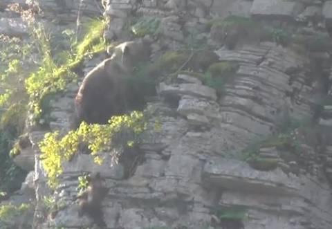 Απίστευτο βίντεο: Αρκούδα αναρριχάται με το μωρό της στο Ζαγόρι