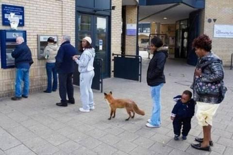 Απίστευτη φώτο: Αλεπού περιμένει στην ουρά για... ανάληψη χρημάτων