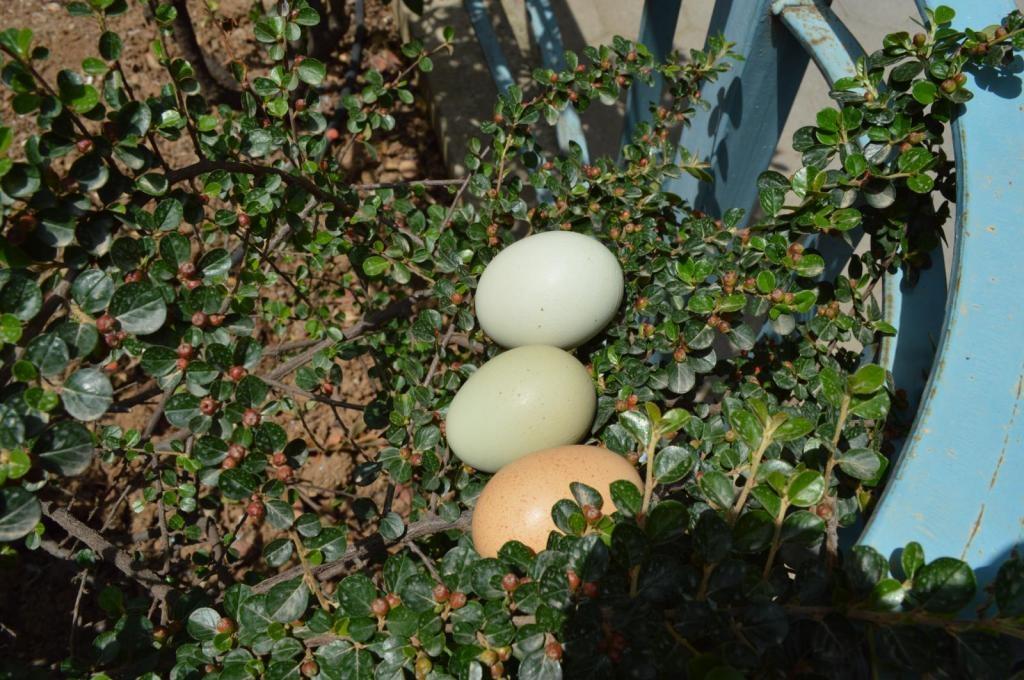Συμβαίνει στην Αρκαδία: Κότα γεννάει... πράσινα αυγά
