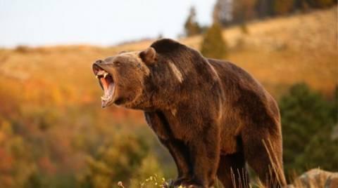 Απειλούν να ευνουχίσουν αρκούδο, γιατί είναι… σεξομανής!