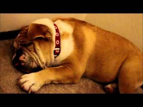 Τι γίνεται όταν ροχαλίζει ο... σκύλος σας; (βίντεο)