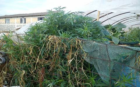 Γαστούνη: 73χρονος καλλιεργούσε ναρκωτικά σε θερμοκήπιο (pic)
