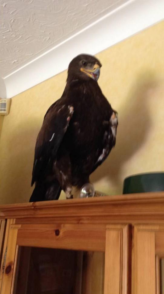 Βρετανία: Συνηθισμένο. Ένας αετός εισέβαλε στο σαλόνι της! (photos+video)
