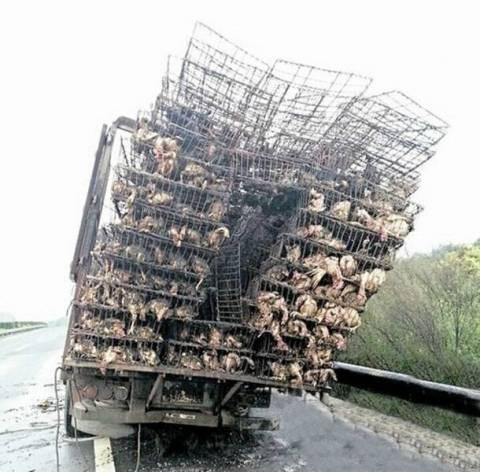 Κίνα: 10.000 κοτόπουλα κάηκαν ζωντανά!