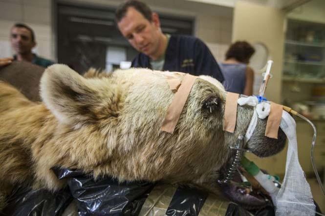 Βάζοντας μια αρκούδα στο χειρουργείο (pics)