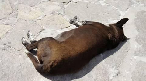 Μεσσηνία: Συνελήφθη Ιταλός γιατί μαχαίρωσε σκύλο
