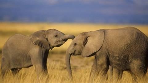 Αφρική: Πάνω από 20.000 ελέφαντες θύματα λαθροθηρίας