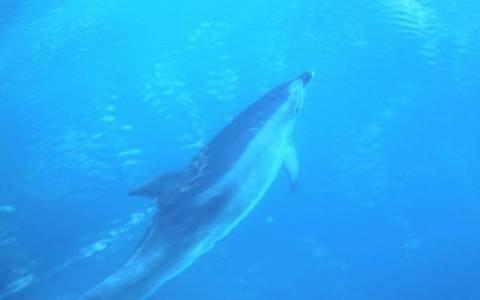 Δελφίνια επισκέφθηκαν το Αργοστόλι!
