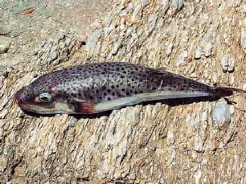 Συναγερμός σε ψαράδες και εστιάτορες για τον τοξικό Λαγοκέφαλο (vid)