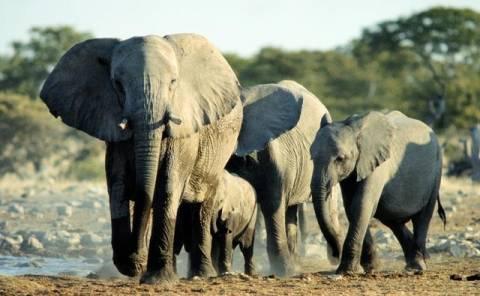 Νεκρός από βέλη λαθροκυνηγών ο διάσημος ελέφαντας της Αφρικής, Satao!