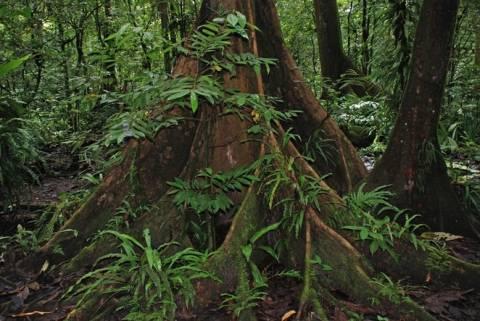 Μικρονησία: Το δάσος Κα