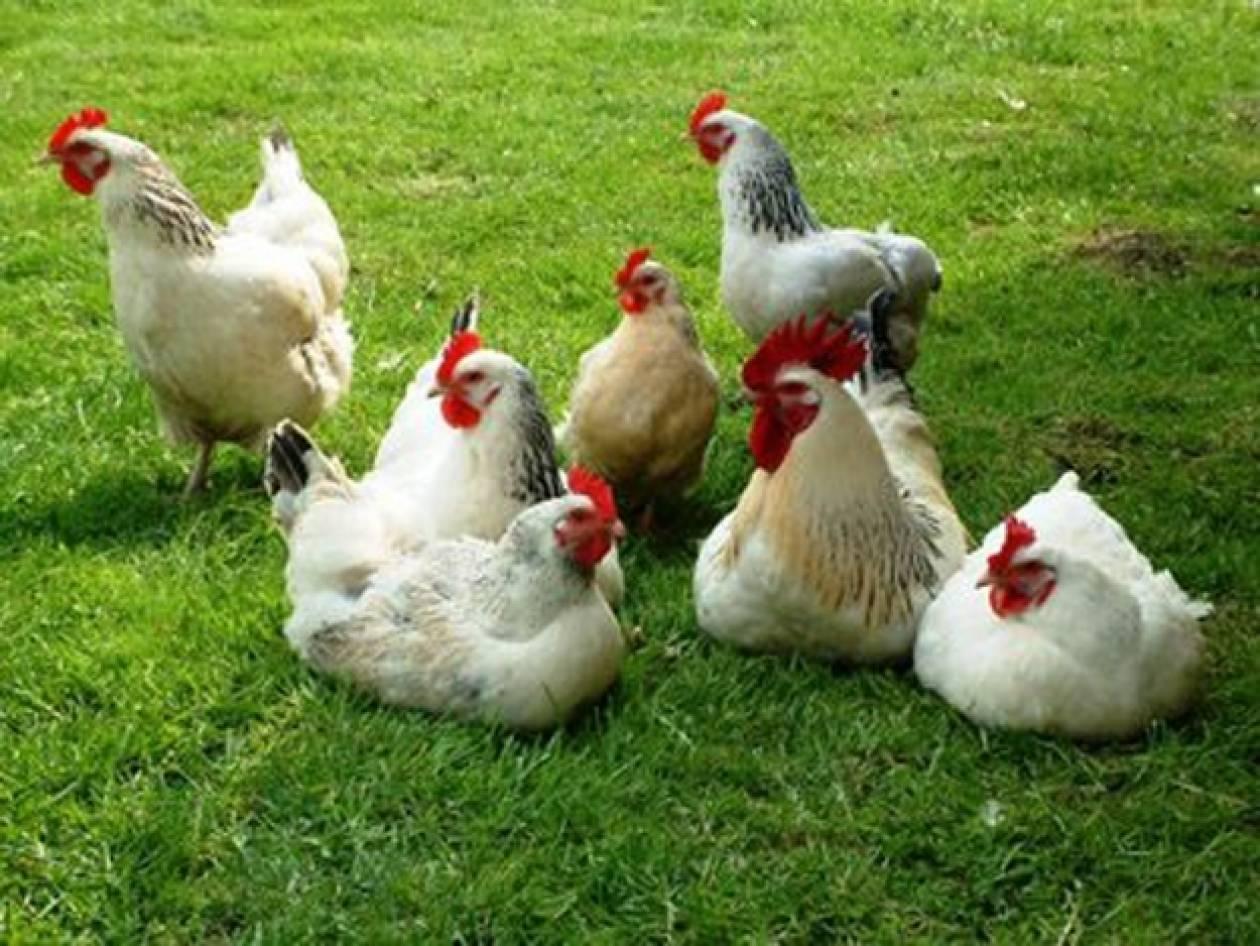 Κομοτηνή: Συνελήφθη γιατί πουλούσε παράνομα...κότες!