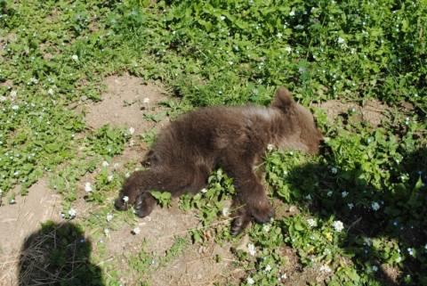 Ιωάννινα: Νεκρό από ασιτία αρκουδάκι 4 μηνών