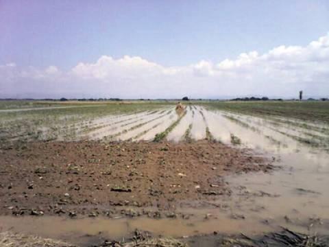 Ροδόπη: Πλημμύρισαν καλλιέργειες με βαμβάκι και μπάμιες στον κάμπο από τη νεροποντή